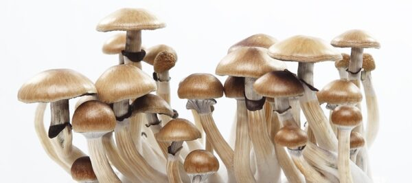 Microdose Mushrooms Psilocybe Mexicana